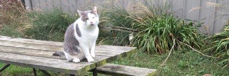 grey-cat-norman-buck